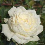 Pnoucí růže Alaska