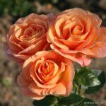 Mnohokvětá růže Bengali®