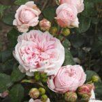Keřová růže Cinderella