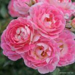 Miniaturní růže Flirt 2011®