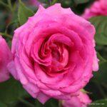 Parfuma® Mnohokvětá růže Fräulein Maria