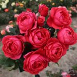 Parfuma® Mnohokvětá růže Gartenprinzessin Marie-José