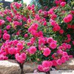Půdopokryvná růže Knirps®