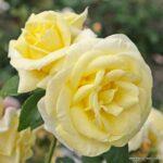 Velkokvětá růže Limona