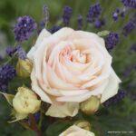 Parfuma® Velkokvětá růže Madame Anisette®