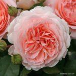 Mnohokvětá růže Märchenzauber®