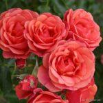 Miniaturní růže Mandarin®