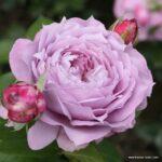 Mnohokvětá růže Novalis®