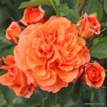 Mnohokvětá růže Orangerie®