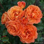Mnohokvětá růže Phoenix®