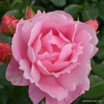 Mnohokvětá růže Poetry®