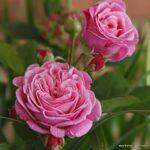 Parfuma® Mnohokvětá růže Rosengräfin Marie Henriette®