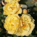 Půdopokryvná růže Sunny Rose®