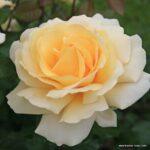Velkokvětá růže Winter Sun