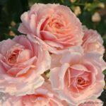Mnohokvětá růže Cremosa®