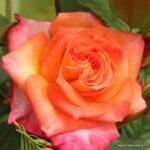 Velkokvětá růže Feurio