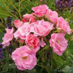 Mnohokvětá růže Roselina®