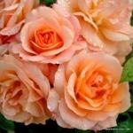 Mnohokvětá růže Aprikola®