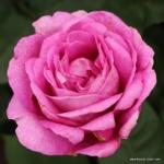 Velkokvětá růže Parfuma® Carmen Würth
