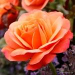 Mnohokvětá růže Coral Lions-Rose