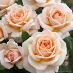 Velkokvětá růže Courage®