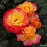 Velkokvětá růže Flaming Star®