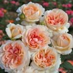 Velkokvětá růže Parfuma® Großherzogin Luise®