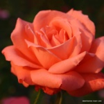 Velkokvětá růže Hamburger Deern®