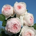 Mnohokvětá růže Parfuma® Herzogin Christiana®