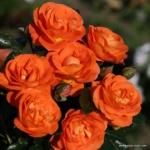 Mnohokvětá růže Mango®