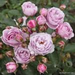 Mnohokvětá růže Nautica®