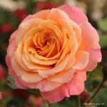 Pnoucí růže Peach Melba®