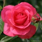 Pnoucí růže Rosanna®