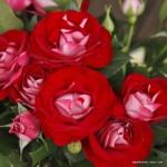 Mnohokvětá růže Rose der Einheit®