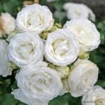 Miniaturní růže Schneeküsschen®