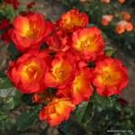 Půdopokryvná růže Summer of Love®