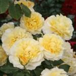 Velkokvětá růže Sunny Sky®