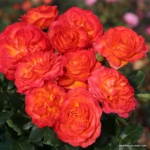 Velkokvětá růže Vulcano®